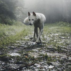 Le bal des loups photo marek szturc